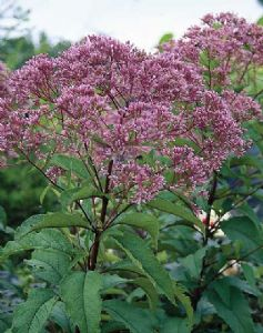 Eupatorium purpureum 'Little Red'